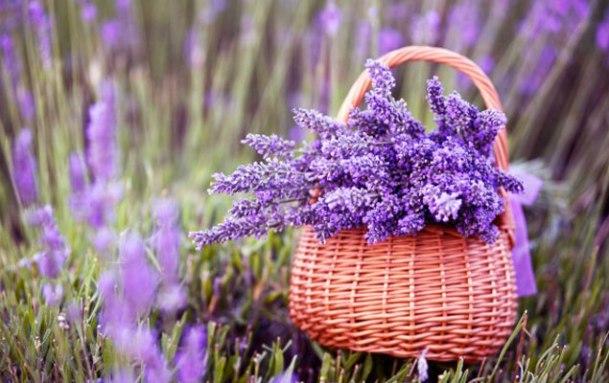 Facile-a-cultiver-lavande-naturelle-parfumee