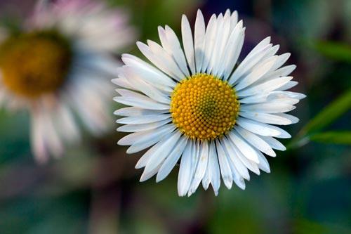paquerette-daisy-margarita-5d2d2_2802