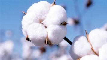 Cotton_16-9_356x200_3339_356