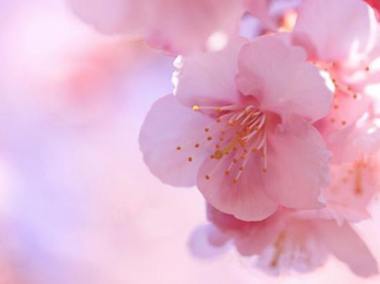 La-fleur-de-cerisier_galerie_large